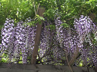 フジ (植物)の画像 p1_40